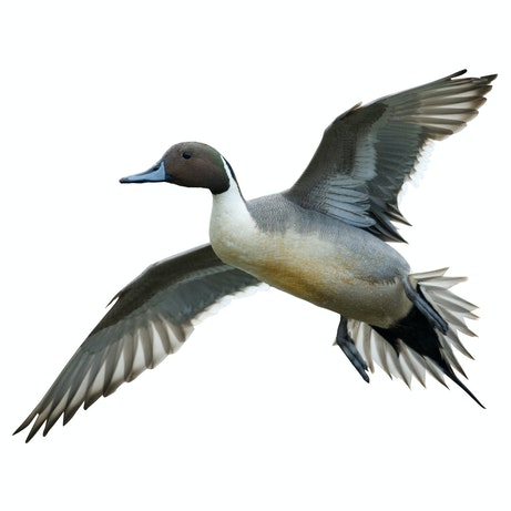 Northern Pintail Flying Left - Cutout | Mossy Oak Graphics