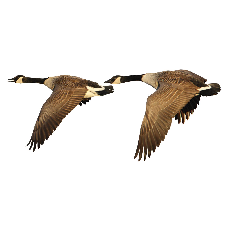 canada goose grå