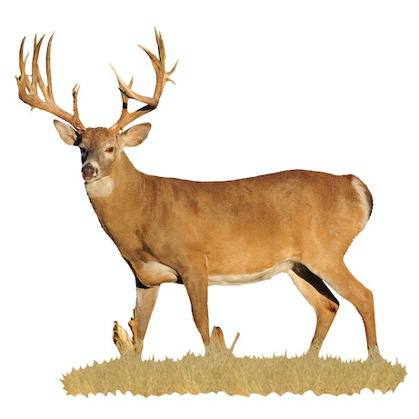 Broadside View Of Whitetail Buck With Sticker Points