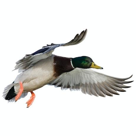 Mallard Drake Landing Right Cutout Mossy Oak Graphics