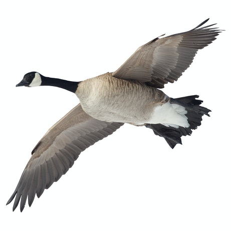Canada Goose Flying Overhead Cutout Mossy Oak Graphics